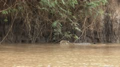 Jaguar (Panthera onca)  swimming in the river, going under some roots, in the Pantanal wetlands, Brazil