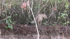 Jaguar (Panthera onca)  sitting on riverbank in the Pantanal wetlands, Brazil.