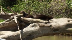 Giant river otter (Pteronura brasiliensis) relaxing in the sun on a overhanging dead tree,in the Pantanal wetlands, Brazil.
