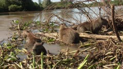 Capybara (Hydrochoerus hydrochaeris) family on an island of reeds in the river, Pantanal, Mato grosso, Brazil.