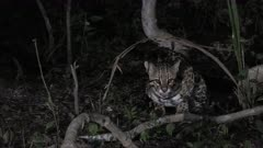 Ocelot (Leopardus pardalis) at night  under a  tree eating, Pantanal wetlands, Brazil