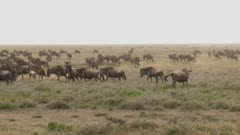 Blue Wildebeest (Connochaetes taurinus) herd migrating, grazing on their way