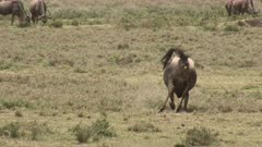 Blue Wildebeest (Connochaetes taurinus)  female  giving birth and pushing, calf legs coming out, on the Ngorongoro Conservation Area plains.