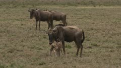 Blue Wildebeest (Connochaetes taurinus)  female with her newborn calf, trying to stand, on the Ngorongoro Conservation Area plains.