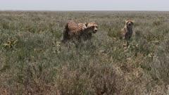 Cheetah (Acinonyx jubatus) overlooking a herd of Wildebeest (Connochaetes taurinus)