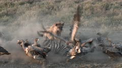 Diversity of vultures eating from a Zebra  ( Equus quagga), Hyena (Crocuta crocuta) chasing them away  in close-up low angle view