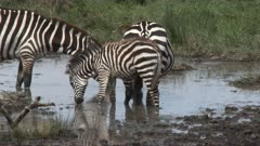 Zebra ( Equus quagga) group with a tiny foal standing together in water to drink