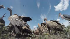 Diversity of vultures eating from a Zebra(Equus quagga) in close-up low angle view