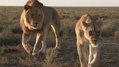 Lion (Panthera leo) couple in courtship walking together on the plains coming very close to the camera