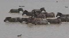 Zebra ( Equus quagga) group standing together in water to drink