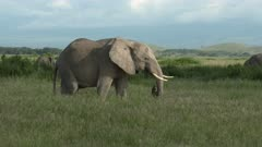 African Elephant (Loxodonta africana) foraging  in high grasses
