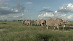 Family of African Elephants (Loxodonta africana) foraging together in high grasses, one looking at camera