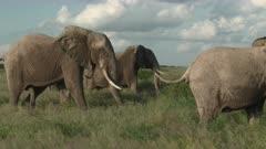Bull African Elephant (Loxodonta africana) chasing a female in estrus, through the grasslands of Amboseli N.P., Kenya.