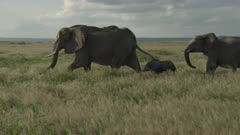 Female African Elephant (Loxodonta africana) walking through high grasses, with her tiny calf and juvenile following her