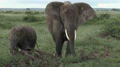 African Elephant (Loxodonta africana) female with her juvenile calf eating from shrubs, Amboseli N.P., Kenya