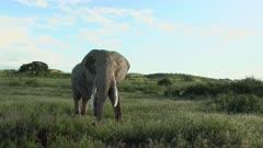 African Elephant (Loxodonta africana) bull standing in grasslands eating, Amboseli N.P., Kenya