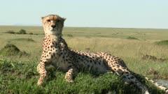 Cheetah (Acinonyx jubatus) lying and looking around on a hill top