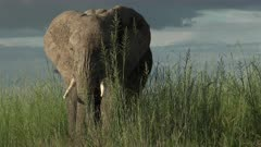 African Elephant (Loxodonta africana)  eating from high grasses, coming close and sniffing to camera in low angle, Amboseli N.P., Kenya