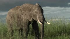 African Elephant (Loxodonta africana)  eating from high grasses,  in low angle, Amboseli N.P., Kenya