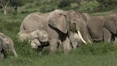 African Elephant (Loxodonta africana)  family, with two tiny calfs playing,  eating from shrubs, Amboseli N.P., Kenya