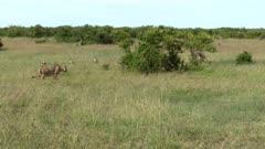 Lion (Panthera leo) female chasing away Hyena (Crocuta crocuta) to defend her prey, Maasai Mara, Kenya.
