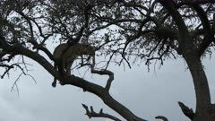 Leopard (Panthera pardus) walking and stretching on a branch, during sunset, Maasai Mara, Kenya.