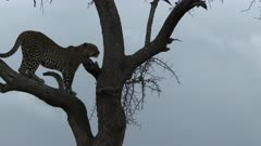 Leopard (Panthera pardus) walking and jumping down from a tree, during sunset, Maasai Mara, Kenya.