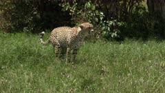 Cheetah (Acinonyx jubatus) defecating in high grasses