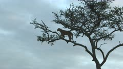 Leopard (Panthera pardus) standing on a branch in a tree, scanning distance for prey, during sunset, Maasai Mara, Kenya.