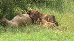 Lion (Panthera leo) cubs suckling,  Lioness turns around and cub hangs on to nipple, Maasai Mara, Kenya.