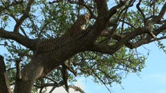 Leopard (Panthera pardus) sharpening claws while lying on a branch, Maasai Mara, Kenya.