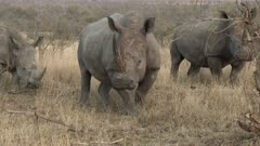 White Rhinoceros (Ceratotherium simum) three together grazing between shrubs, Kruger N.P. South-Africa.