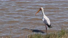 Yellow-billed Stork (Mycteria ibis)  searching for fish in water, Kruger N.P. South-Africa.