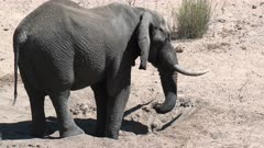African Elephant (Loxodonta africana) drinking water out of a hole in a dry riverbed, Kruger N.P. South-Africa.