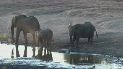 African Elephant (Loxodonta africana)  drinking together from a small pond, during sunset, Kruger N.P. South-Africa.