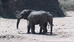 African Elephant (Loxodonta africana)  two bulls together in a dry riverbed, Kruger N.P. South-Africa.