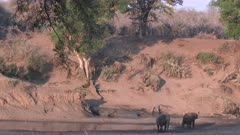 African Elephant (Loxodonta africana) family walking up a slope from a riverbed, after drinking in pool, Kruger N.P. South-Africa.