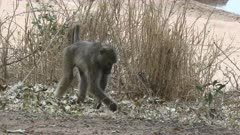 Chacma Baboon (Papio ursinus) searching for food between leaves on the ground, Kruger N.P., South-Africa.