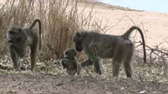 Chacma Baboon (Papio ursinus) searching for food between leaves, baby walking away for male, Kruger N.P., South-Africa.