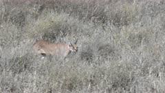 Caracal (Caracal caracal) male searching for prey on the savannah, Serengeti N.P. Tanzania.