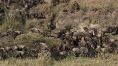 Blue Wildebeest (Connochaetes taurinus)  drinking in small pond during their annual migration, Serengeti N.P., Tanzania.
