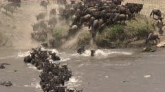 Blue Wildebeest (Connochaetes taurinus)  crossing the Mara river  during their annual migration, Serengeti N.P., Tanzania.