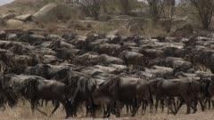 Blue Wildebeest (Connochaetes taurinus) herd gathered during their migration,area Mara river, Serengeti N.P., Tanzania.