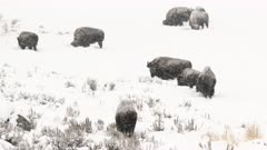 American Bison (Bison bison) herd grazing in snow covered field, Yellowstone N.P.