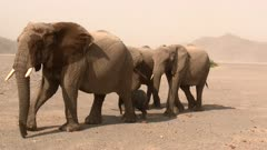 Desert elephant (Loxodonta africana)  adults walking with a tiny calf in their midst in the Hoanib desert, Namibia.