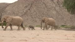 Desert elephant (Loxodonta africana)  females walking with a tiny calf through a dry Hoanib riverbed, Namibia.
