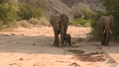 Desert elephant (Loxodonta africana)  female with a tiny calf drinking in a dry Hoanib riverbed, Namibia.
