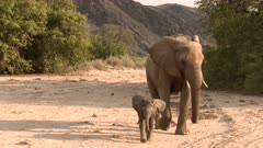 Desert elephant (Loxodonta africana)  female with tiny calf walking towards camera and passing close, in a dry Hoanib riverbed, Namibia.