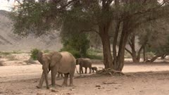 Desert elephant (Loxodonta africana)  family with a tiny calf, in search of food  in a dry Hoanib riverbed, Namibia.