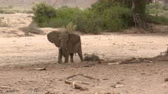 Desert elephant (Loxodonta africana)  female with a tiny calf lying on the ground to rest in a dry Hoanib riverbed, Namibia.